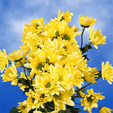 72 Stems of Yellow Daisy Pom Poms 288 Blooms                                                              For Delivery to Goose_Creek, South_Carolina