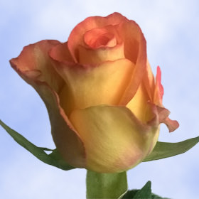 Orange with Yellow Roses Choose Your Quantity From 50 to 250 Roselle Roses