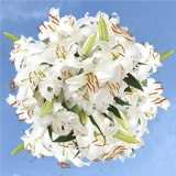 50 Stems of White Oriental Lilies 200 Blooms