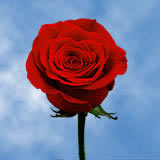 40 Valentine's Day Single Red Rose Bouquet