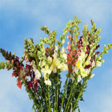 60 Stems of Assorted Color Snapdragons 1200 Blooms
