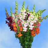 280 Blooms of Assorted Color Snapdragon Flowers 20 Stems