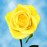 Soft Yellow Roses Choose Your Quantity From 50 to 250 Idole Roses