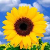 50 Stems of Yellow Sunflowers with Brown Center