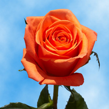 Choose Your Quantity of Orange Roses from 1 to 100 Roses