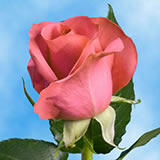 Pink Roses Choose Your Quantity From 1 to 400 Valentine's Day Roses