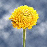 36 Stems of Yellow Button Pom Poms 144 Blooms