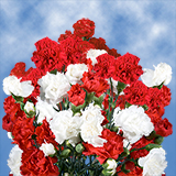 160 Stems of Christmas Spray Carnations 640 Blooms