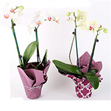 10 Assorted Color of Phalaenopsis Orchids in Growers Pots