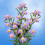 100 Stems of Purple Asters
