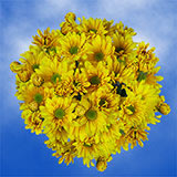 144 Stems of Yellow Daisy Pom Poms 576 Blooms