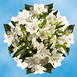 240 Blooms of White Fancy Alstroemerias 60 Stems