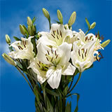 28 Blooms of White Color Asiatic Lilies 8 Stems