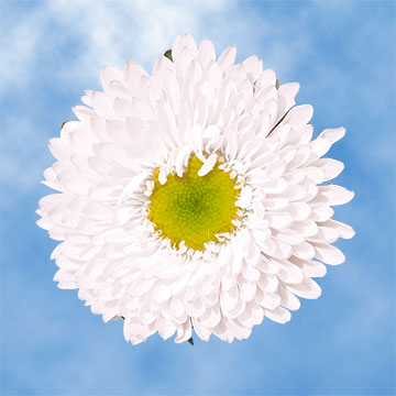 White Aster Matsumoto Choose Your Quantity From: 400 - 720 Blooms: 100 - 180 flowers
