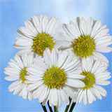 240 Blooms of White Asters Flowers 60 Stems