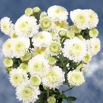 White Button Pom Poms Choose Your Quantity From 360 - 1440 Blooms: 36 - 144 Chrysanthemums Flowers