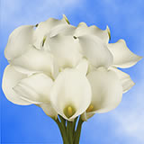 10 White Next Day Calla Lilies                                                              For Delivery to Alabama