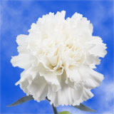 100 Stems of White Carnations