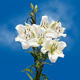 28 Blooms of White Next Day Asiatic Lilies 8 Stems