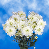 72 Blooms of White Color Cushion Pom Poms 18 Stems