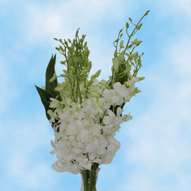 Big White Sana Dendrobium Orchids Choose Your Quantity From 240 - 540 Blooms: 40 - 90 Flowers