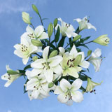 35 Blooms of White Oriental Lilies10 Stems