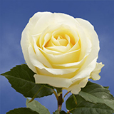 Creamy Ivory Roses Choose Your Quantity From 50 to 250 Anastacia Roses