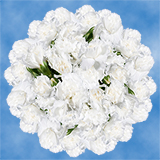 300 Stems of Long Stem White Spray Carnations 1200 Blooms