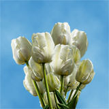 200 Stems of White Tulips