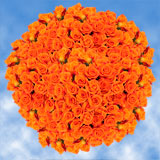 250 Stems of Bright Orange, Miracle Roses                                                              For Delivery to Colorado