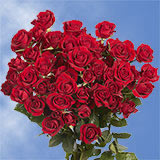 200 Stems of Red Spray Roses 700 Blooms