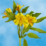 240 Blooms of Yellow Select Alstroemerias 60 Stems