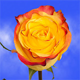 Bright Bicolor Yellow Orange Roses Choose Your Quantity From 50 to 250 New Flash Roses
