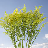 30 Stems of Yellow Asters Solidago                                                              For Delivery to Virginia