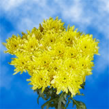 72 Blooms of Yellow Cushion Pom Poms 18 Stems