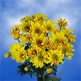 72 Blooms of Yellow Daisy Pom Poms 18 Stems