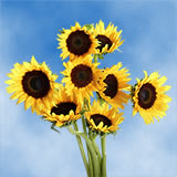 25 Stems of Sunflowers Brown Center