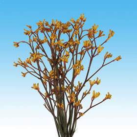 Yellow Kangaroo Flowers Choose Your Quantity From 60 -120 Flowers