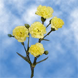 100 Stems of Yellow Spray Carnations 400 Blooms