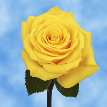 100 Assorted Yellow Roses