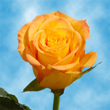 Yellow with Orange Tips Roses Choose Your Quantity From 50 to 250 Keiro Roses