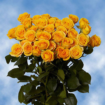Yellow Spray Roses Choose Your Quantity From 40 to 200 Spray Roses