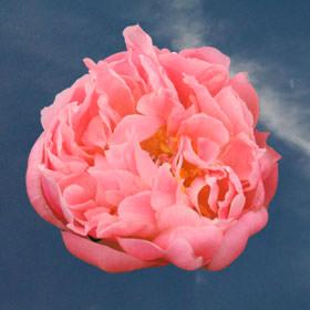 Are peonies good wedding flowers?