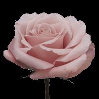 Cream Quicksand Rose