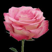 Pink Paloma Rose