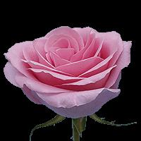 Pink Saga Rose