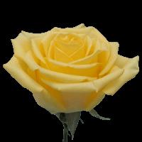 Yellow King Rose