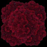 400 Stems of Burgundy Zurigo Carnations For Delivery to Elk_River, Minnesota
