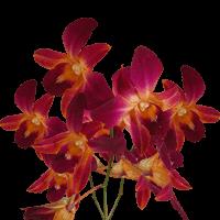 Orange Sonia Orchids  For Delivery to Jonesboro, Arkansas