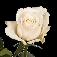 Vendela Roses Creamy Ivory For Delivery to Chehalis, Washington